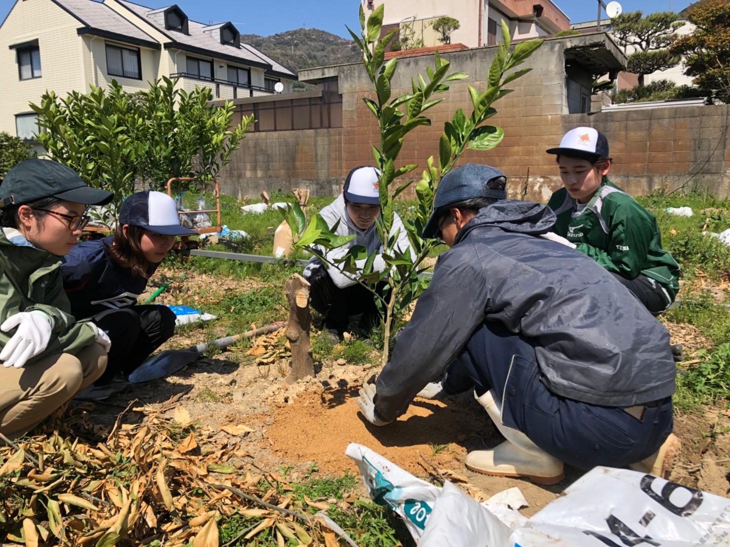 新入社員がみかんの樹を植えます。