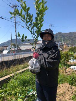 有田みかんの苗木を植えます