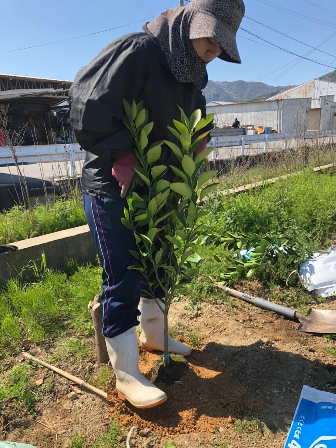 苗木にかけた土を踏み固めます
