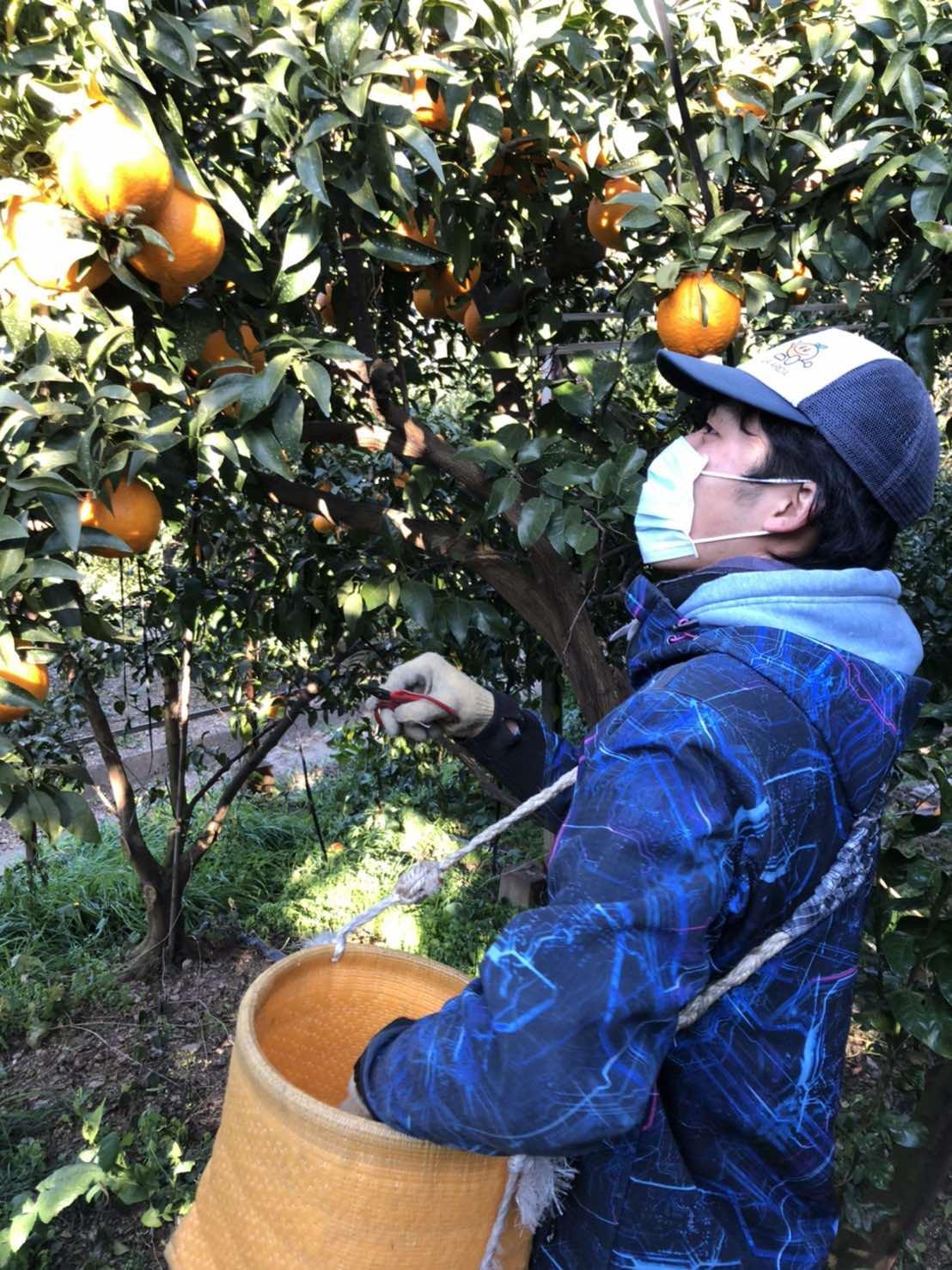 生産部5年目古田さん。 今日もしらぬいの収穫に励みます!