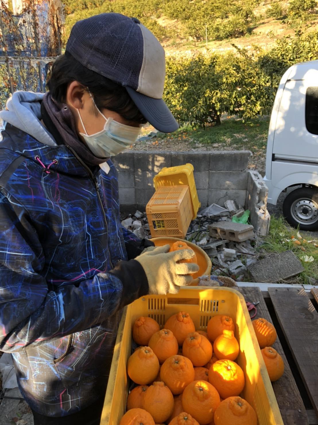 収穫したしらぬいを真剣にみつめる古田さん。 今年の出来栄えは?