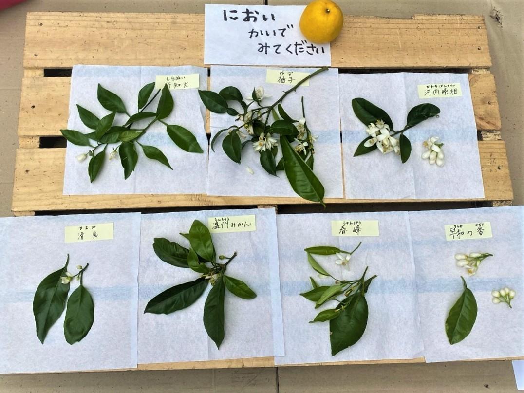 かんきつの花の匂いを嗅いでもらった写真。左上からしらぬい、柚子、河内晩柑、清見、温州ミカン、春峰、早和の香