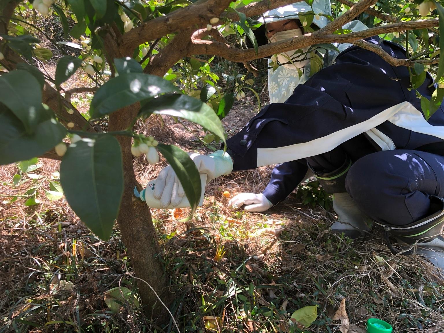 枝口に殺菌剤を塗ります。