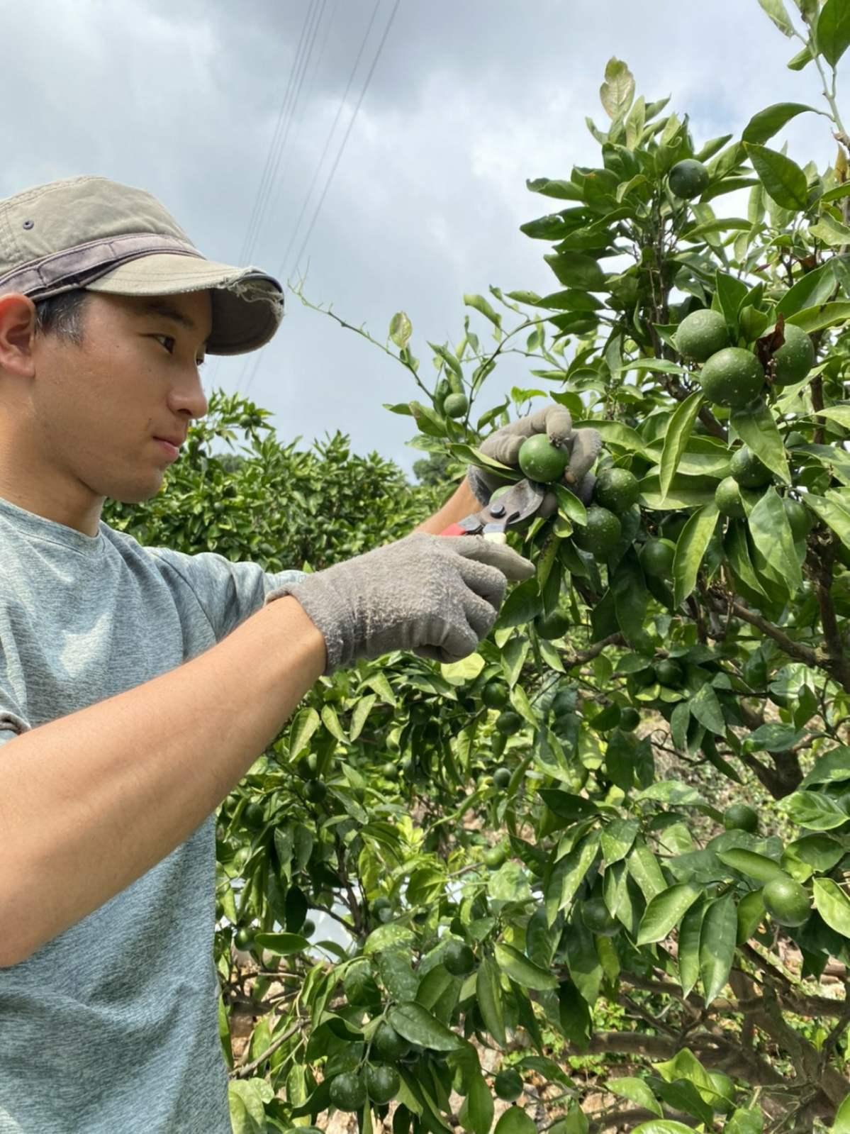 果汁検査用に果実を収穫します