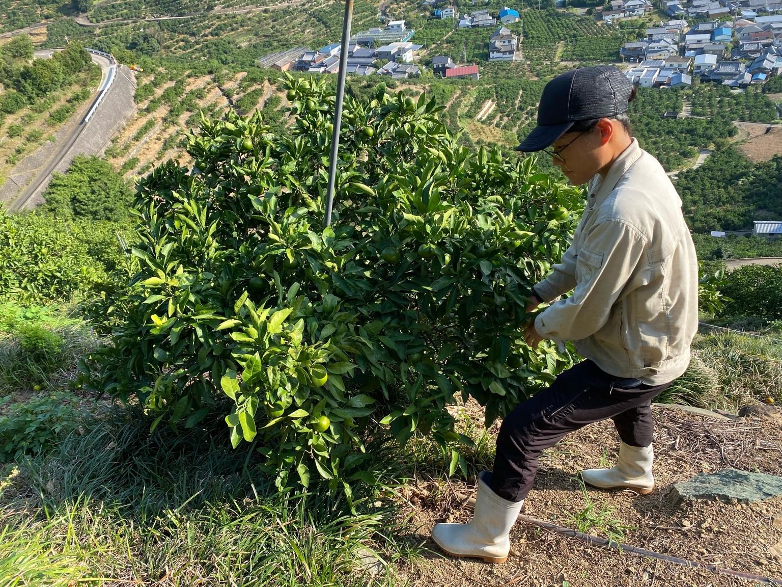 摘果作業をする新林園地担当の岩倉主任
