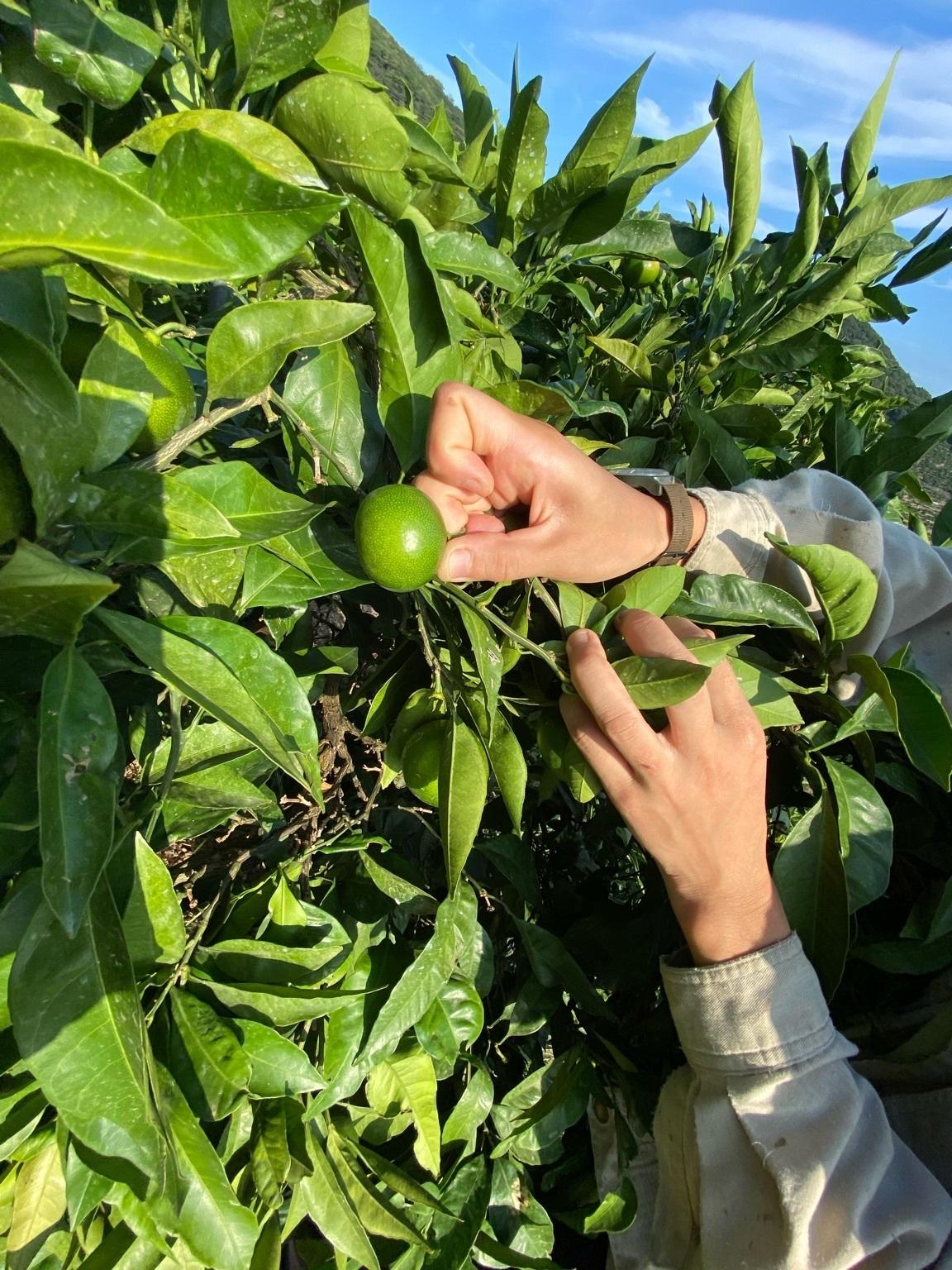 摘果する果実