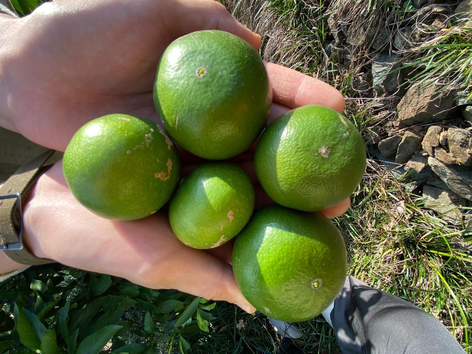 新林の果実は現在こんな大きさです